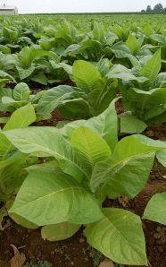 373px-Nicotiana_Tobacco_Plants_1909px