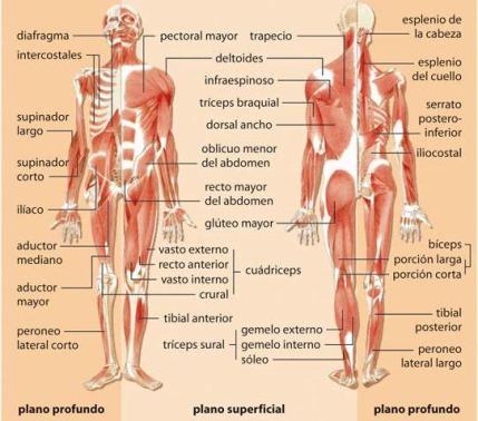 Los músculos | Biología y Geología 3ºESO